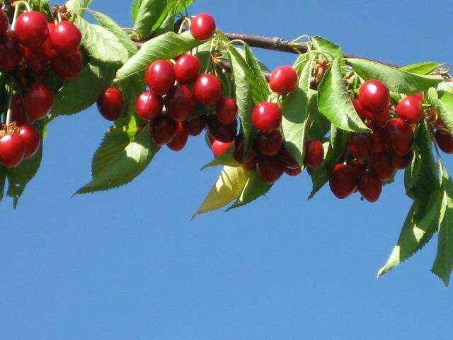 Правильная посадка черешни – залог хорошего урожая в будущем