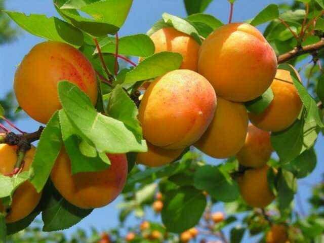 Обрезка абрикоса – залог красивого и здорового дерева