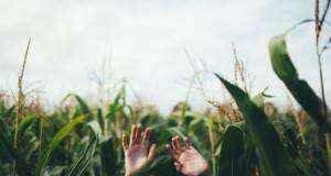 как выращивается кукуруза на силос